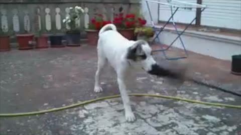 Before and after shows Mastiff's love of cleaning