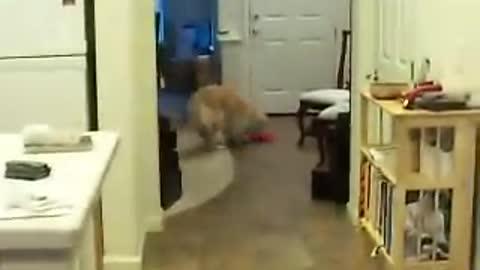 dog tricks: Golden Retriever Grace cleans the house