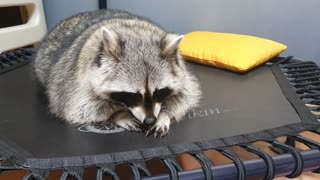 Raccoon lies down and enjoys finding the feet of his family under the trampoline.