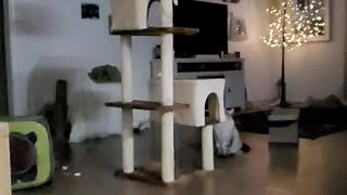 Slow motion of cat jumping onto Cat Tree