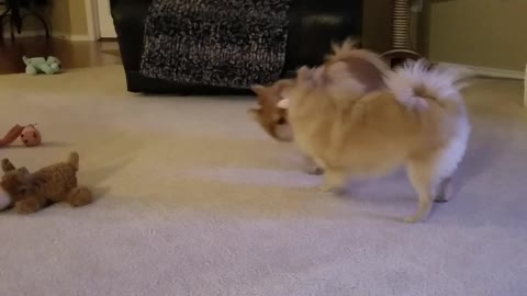 Pomeranian Playtime with a twist at the end