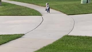 Independent Pooch Walks Himself Home