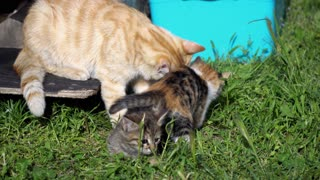 Cute Kittens And Mother Cat