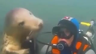 Seals playing with divers