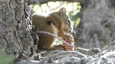 female squirrels eats delicious coconuts off tree