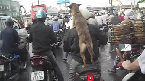 The Dog - Dog Riding on Motorcycles and Compilation.