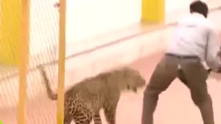 leopard attacking people very scary