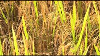 Large Rice Field