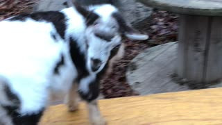 Goats - Brother annoying sister