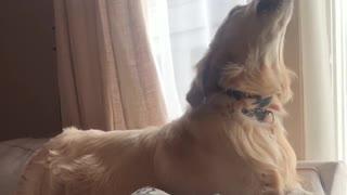 Dog howls at passing fire truck siren