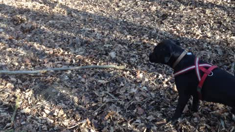 Ambitious dog attempts to pick up huge stick