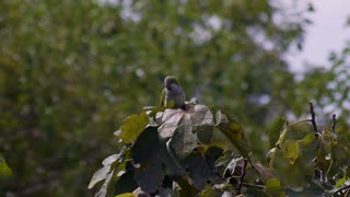 Parrots like to stand on fig trees