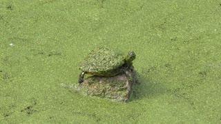 Florida Turtle Sunning in Florida wetlands