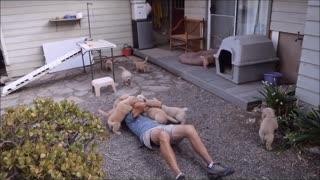 Golden Retriever Puppy Attack Funny