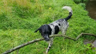 Ambitious dog tries to carry enormous tree branch