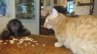 Cat and monkey share tasty breakfast together