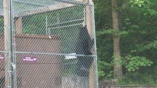 Deft Black Bear Breaks into Dumpster