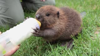 baby beaver drinking