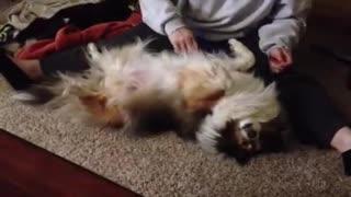 Sheltie Loves Grooming!