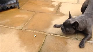 Funny French Bulldogs