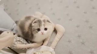 Adorable short leg kitten