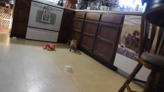 My french Bulldog puppy going crazy!