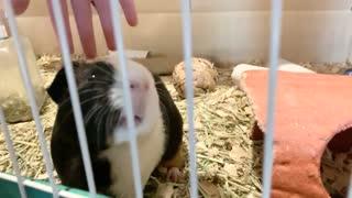 Our cute guinea pig