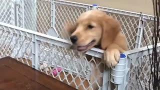 Funniest Cutest Golden Retriever Puppies