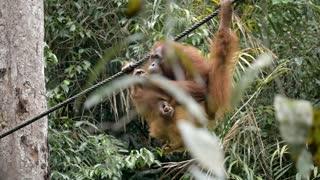 Orangutang Eating