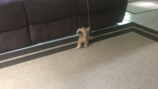 Kitten playing with mouse toy