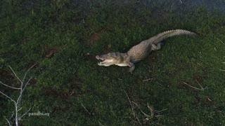 Crocodile moves