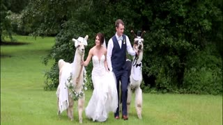 Llama Wedding