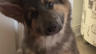 Adorable puppy performs super cute head tilts for the camera