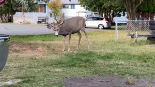 Buck Stretches to Snatch Berries From Tree