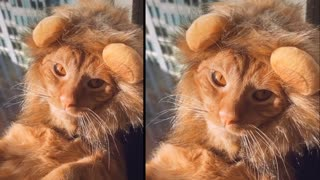 Cat feeling like a Lion King 👑