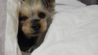 sleepy puppy trying to go to bed