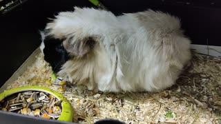 My sweet Guineea Pig eating