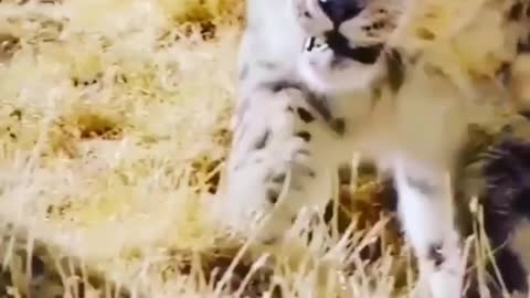 snow leopard in nature