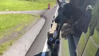 Blue Heeler Pup Chomps at Cones During Drive