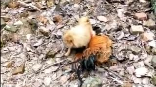 Chicken VS Dog Fight - Dog Fight