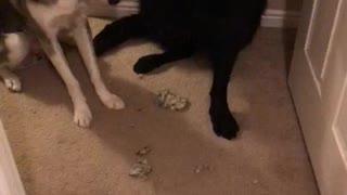 Dog Gives up Playmate for Destroying Carpet