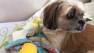 Dog eats lemon grass