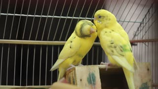 Couple birds loving each other