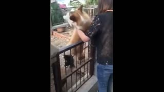 Big Dog Turns Into Puppy When Gets Close To The Chicken