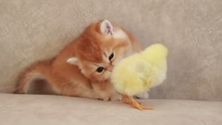 A small cat sleeps with a small chicken🐈🐥🐣