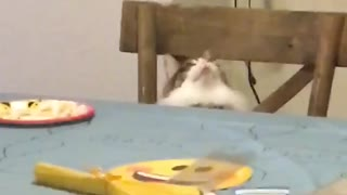 Cat Trying to Keep up with Spinning Birthday Decoration