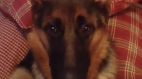 Guilty dog destroys room then tells on herself in most hilarious way