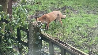 Fox Plays Fetch With Itself