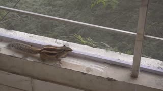 Rescued squirrel repeatedly chases bird away from balcony