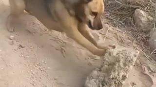 adorable dog - exercising - pushing a rock